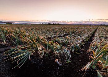 Onion Field in New York's Black Dirt Region