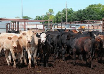 Cattle in an Oklahoma feedlot. (USDA photo by Alice Welch)
