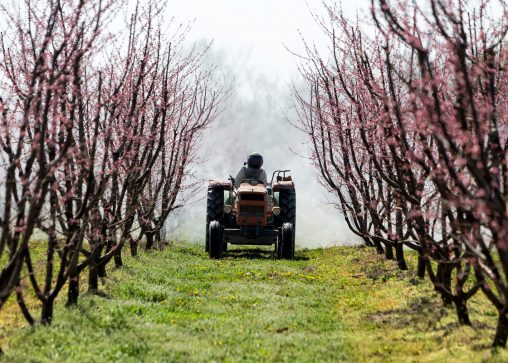 spraying an orchard farm with a tractor