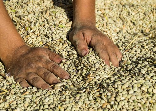 hands scooping piles of lentils and other pulse crops