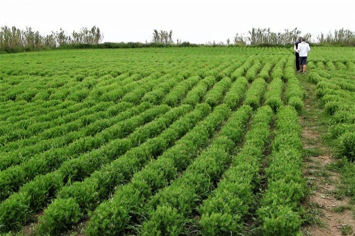 Lentil cultivation on the Island of Ventotene, Italy