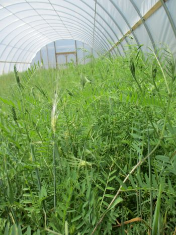 Barley and hairy vetch as a cover crop in a high tunnel at Lola's Organic Farm. (Photo credit: Candace Pollock Moore / SSARE)