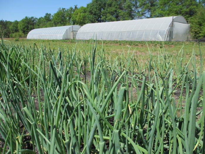 High tunnels at Lola's Organic Farm. (Photo credit: Candace Pollock Moore / SSARE)