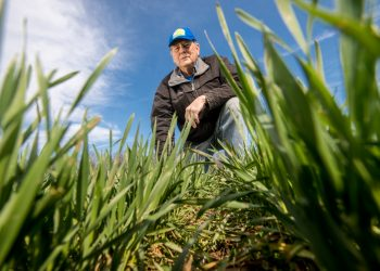 cover crop rye grass