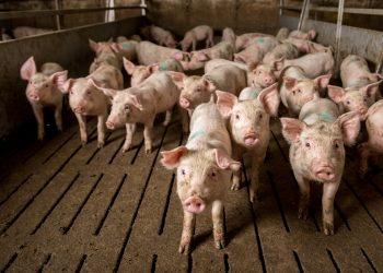pigs in a cafo