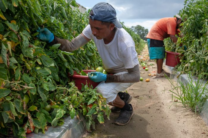Workers fill 32-pound buckets of tomatoes during peak harvest.