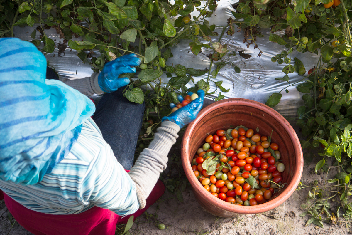 female farmworker picking tomatoes