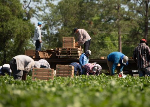 Farmworkers pick strawberries at Lewis Taylor Farms in Fort Valley, Georgia. (USDA photo by Lance Cheung)