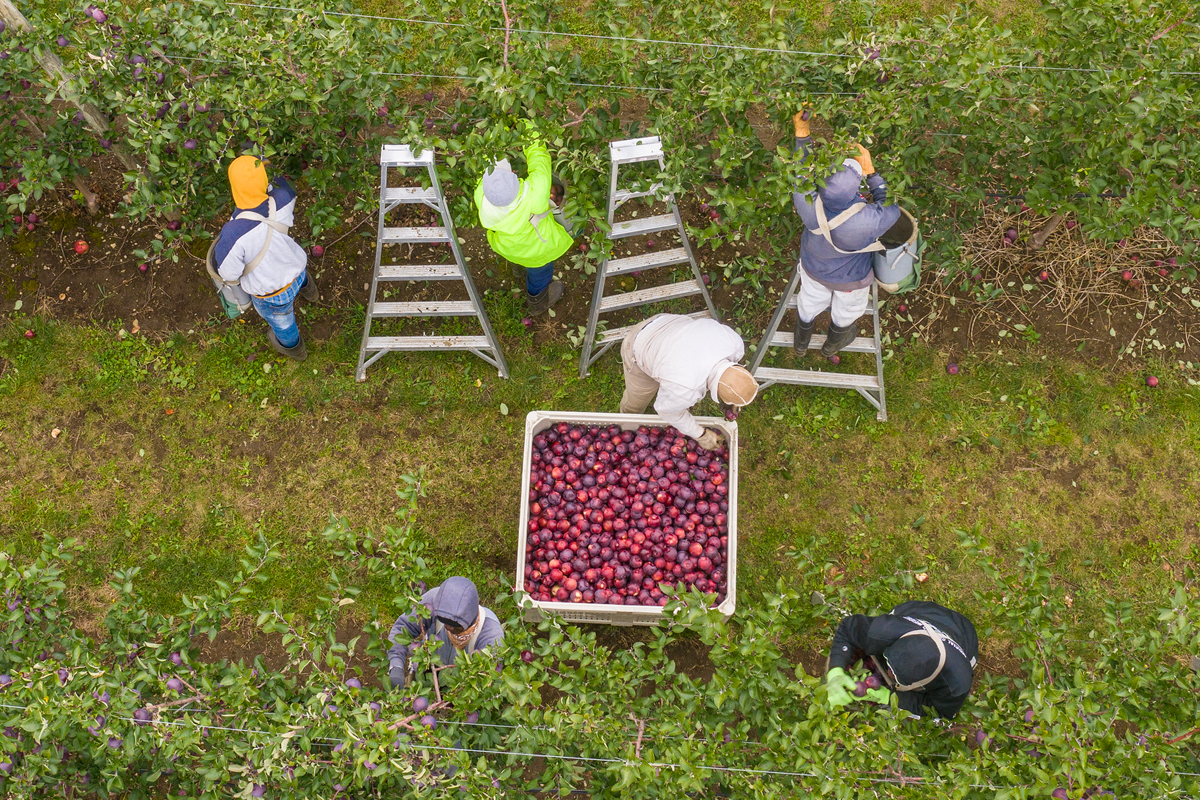 Farmworkers are up at sunrise for the morning harvest at Apex Farm apple orchards in Shelburne, Massachusetts. USDA Photo by Lance Cheung.