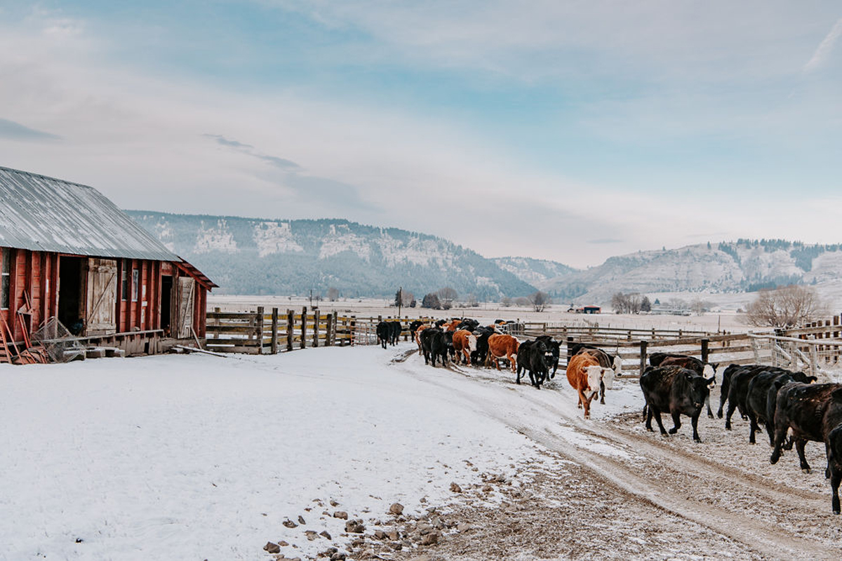 Carman Ranch cattle in winter. (Photo © Talia Jean Galvin)