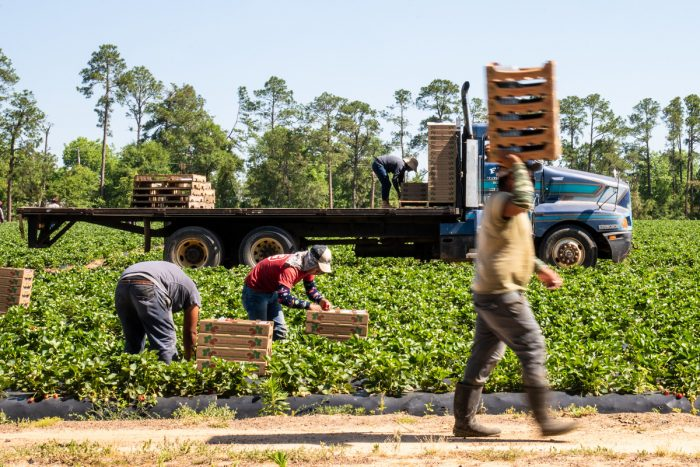 farmworkers in the berry field. USDA photo by Lance Cheung.