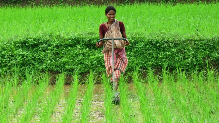 SRI rice planting. (Photo courtesy of Lotus Foods)