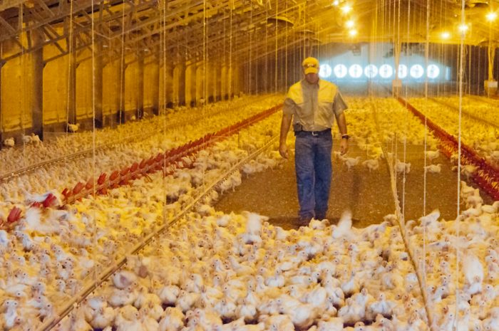 Bobby Morgan checks on broiler hens in one of his chicken houses in Luling, TX on Aug. 23, 2013. USDA photo by Bob Nichols.