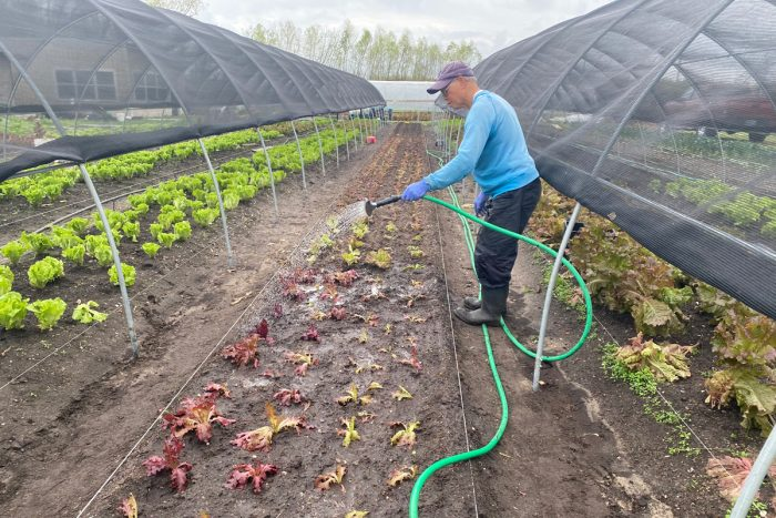 Thanh Nguyen watering crops at Veggi Co-op farm. (Photo by Sarah Sax)