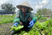 Vietnamese immigrant urban farmer Tham Nguyen tends vegetables at VEGGI co-op farm. Photo by Sarah Sax.