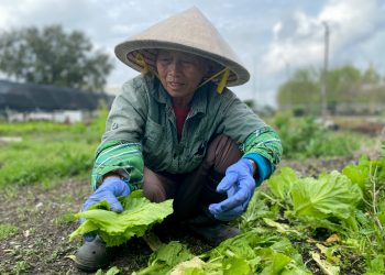 Vietnamese immigrant urban farmer Tham Nguyen tends vegetables at VEGGI co-op farm. Photo by Sarah Sax.