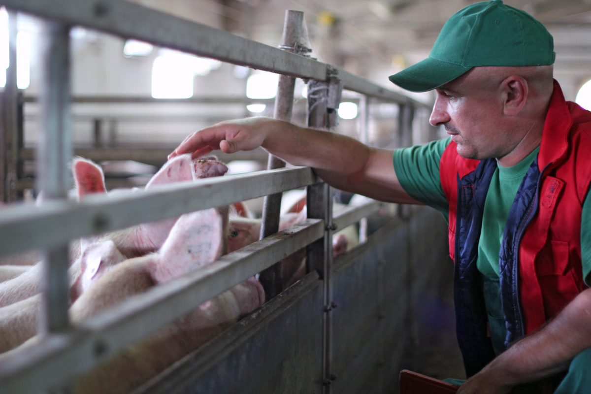 Op Ed Don T Blame Farmers Who Have To Euthanize Their Animals Blame The Companies They Work For Civil Eats