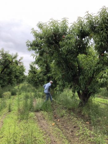 Mas Masumoto working in his peach orchard. (Photo by Nikiko Masumoto)
