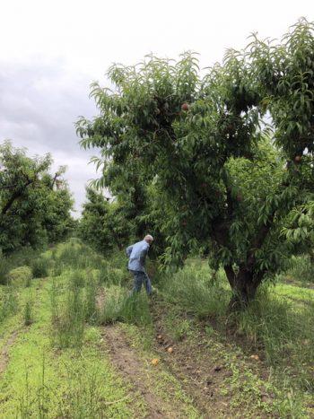 Mas Masumoto working in his peach orchard. (Photo by Nikiko Masumoto)