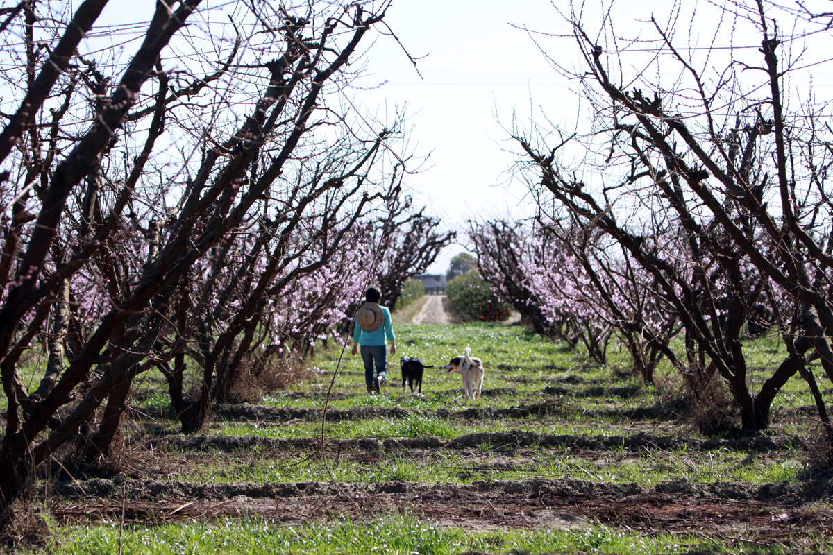 Nikiko Masumoto walking in their peach orchard. (Photo by Brad Shirakawa)