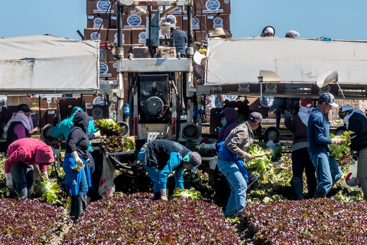 latinx farmworkers harvesting lettuce in the fields