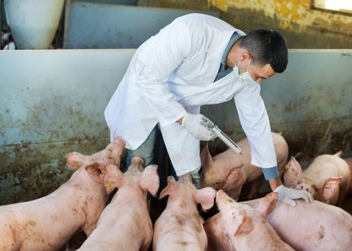veterinarian treating a bunch of pigs in a cafo