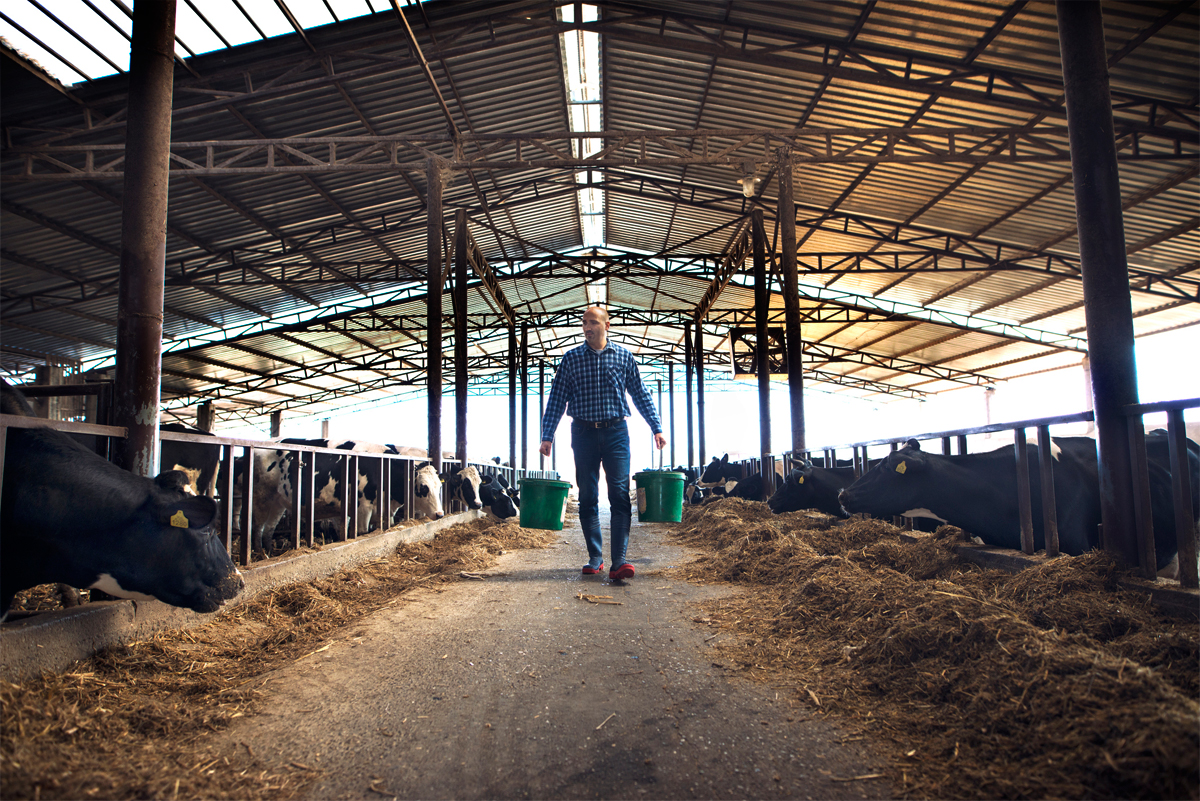 A dairy farmer delivering feed to his herd.
