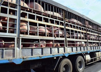 hogs in a truck being transported across country for meat processing as a result of the coronavirus pandemic