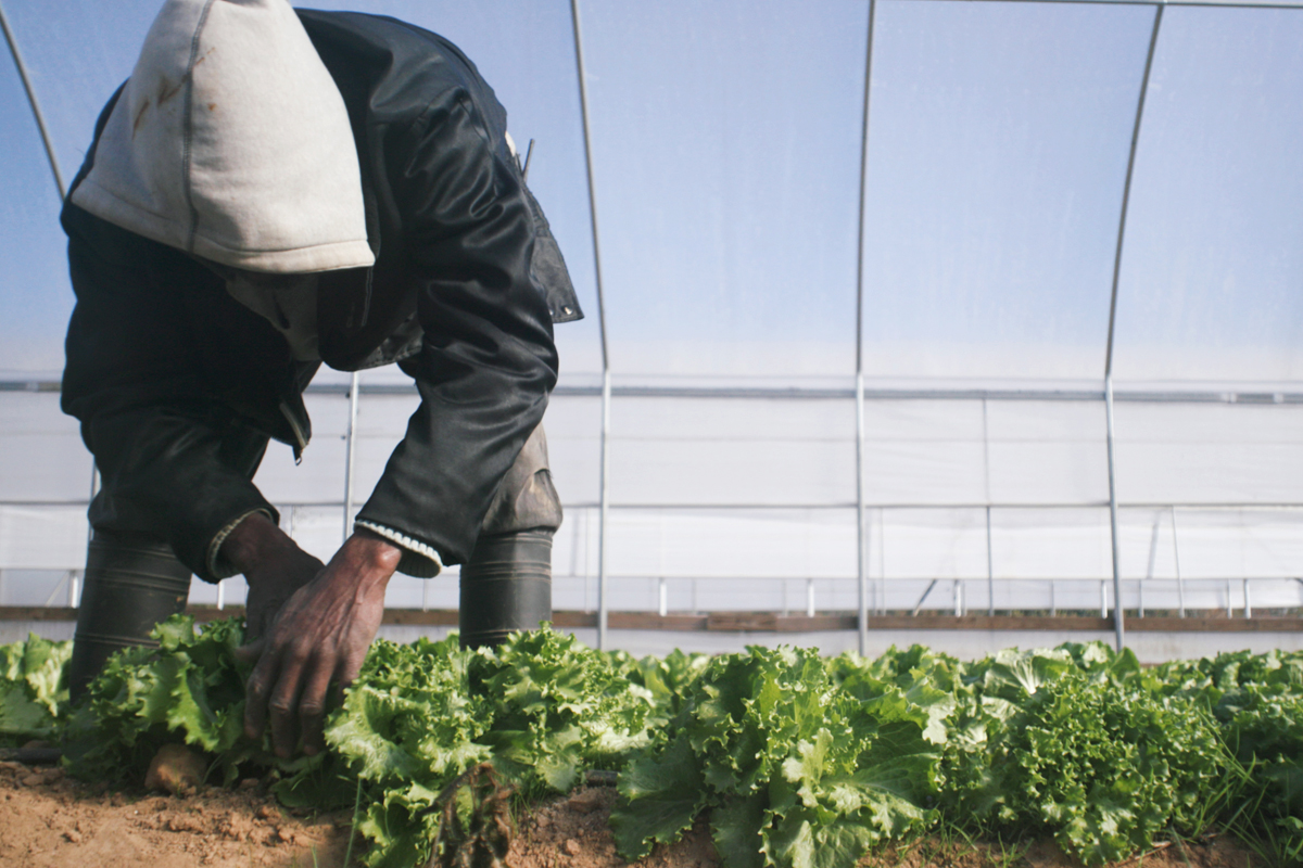 A man harvesting fresh produce in a greenhouse in Jackson, Missippi.