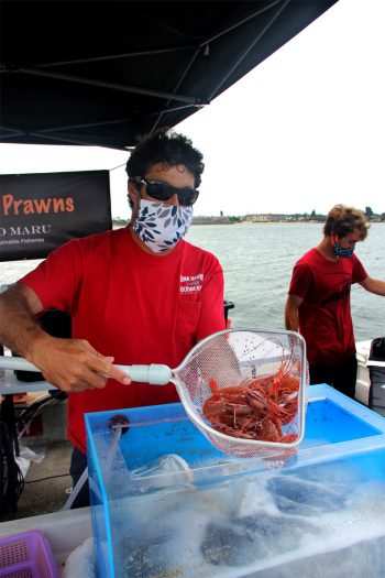 Shane Slaughter holds several spot prawns, a highly regulated species of shrimp that he harvests using deep-water traps. (Photo by Mark Armao)