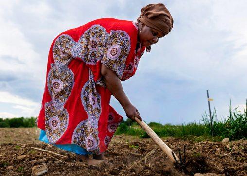 A Somali Bantu farmer tending the field in Maine.