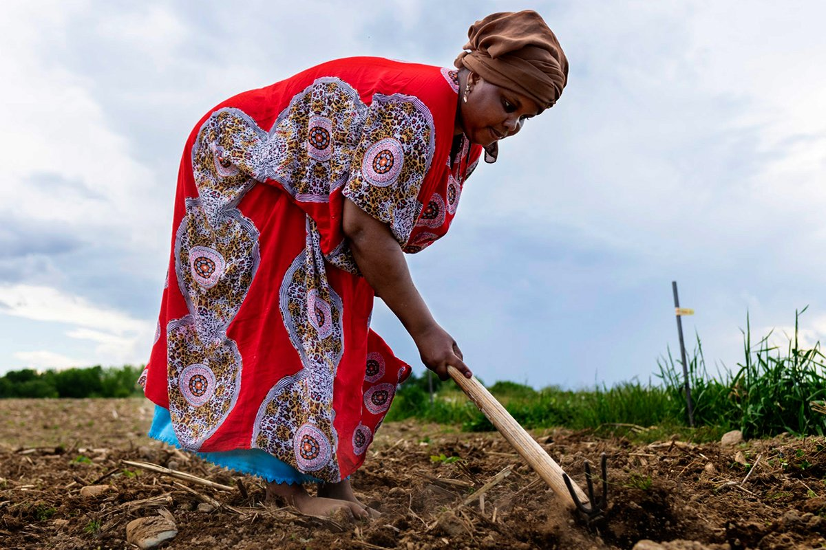 A Somali Bantu farmer tending the field in Maine.