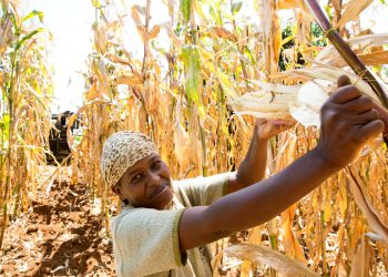 A woman harvest corn in an agroecology project in africa Photo © Peter Lüthi / Biovision