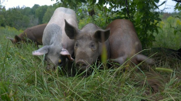 Pigs raised on New Forest Farm in Wisconsin silvopasture agroforestry