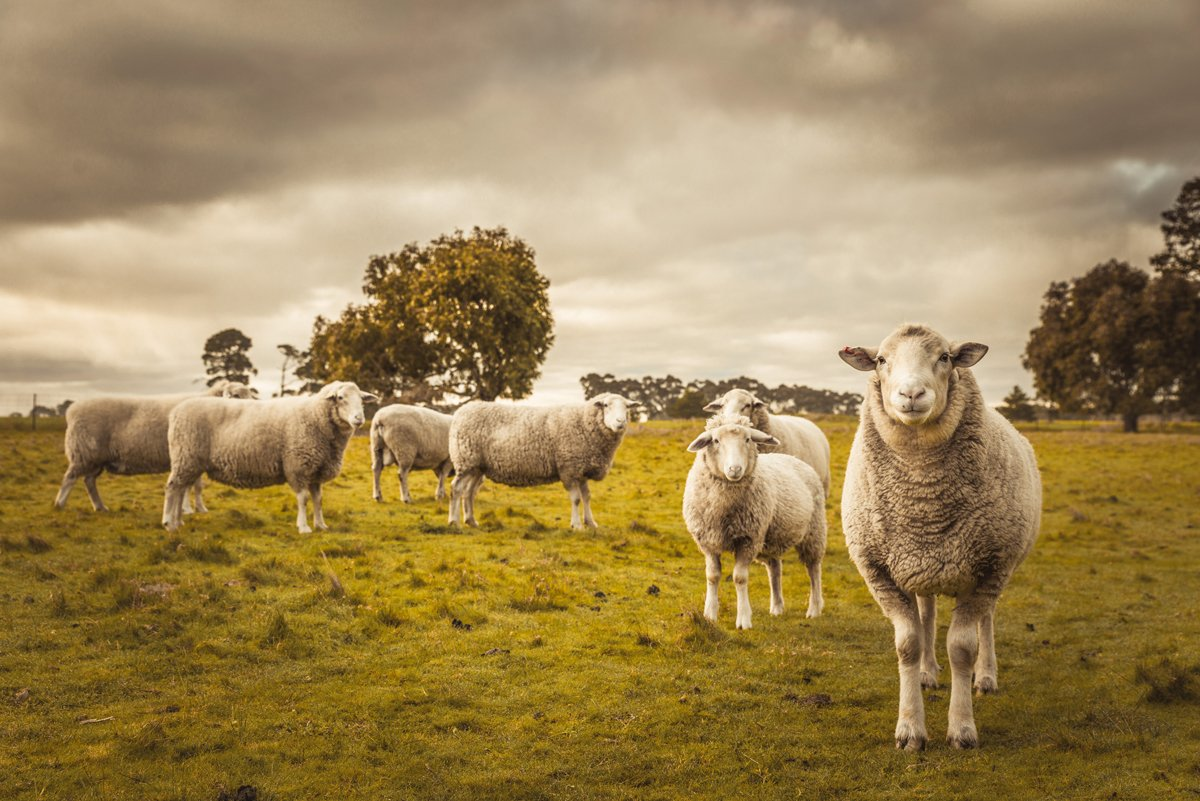 a flock of sheep graze prior to being herded up and sent to the slaughterhouse