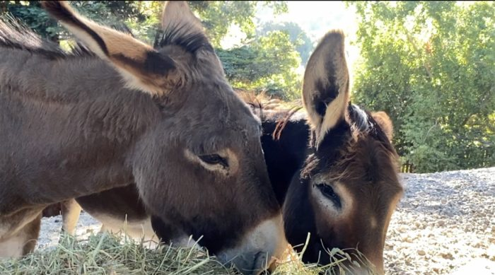 Donkeys grazing at Rancho Compasión, Miyoko Schinner's farm sanctuary.