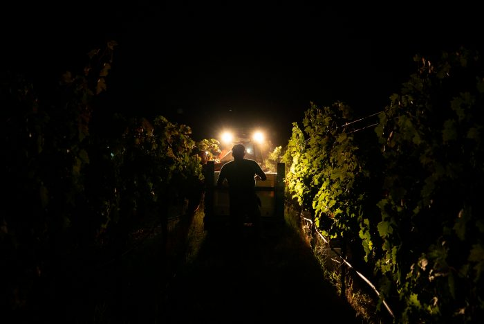 "Even if the flames don't reach winemakers' property, ""smoke taint"" can ruin their crop with an ashy taste that is hard to remove. For this reason, over the past couple weeks, vineyard workers have been called in for emergency picks to get grapes off the vine before they are irreversibly damaged."
