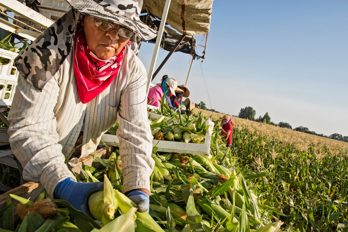 farmworkers picking corn