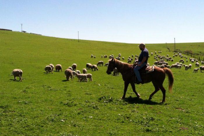 Kevin Fallon rides a horse to check on the sheep. (Photo courtesy of Fallon Hills Ranch)