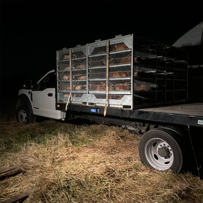 Poultry from Victorian Farmstead Meat Company loaded up for the trip to the slaughterhouse. (Photo credit: Victorian Farmstead Meat Company)