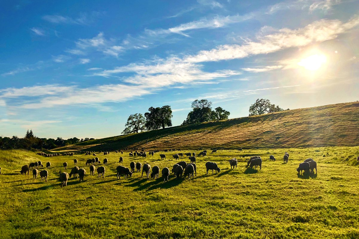 A flock of free range regenerative livestock graze in a field in the Bay Area