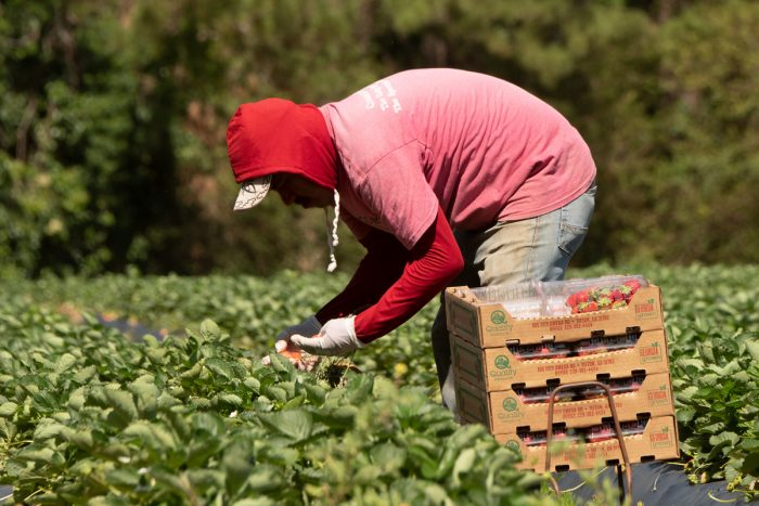 Farmworkers pick strawberries in 2019. (USDA photo by Lance Cheung)