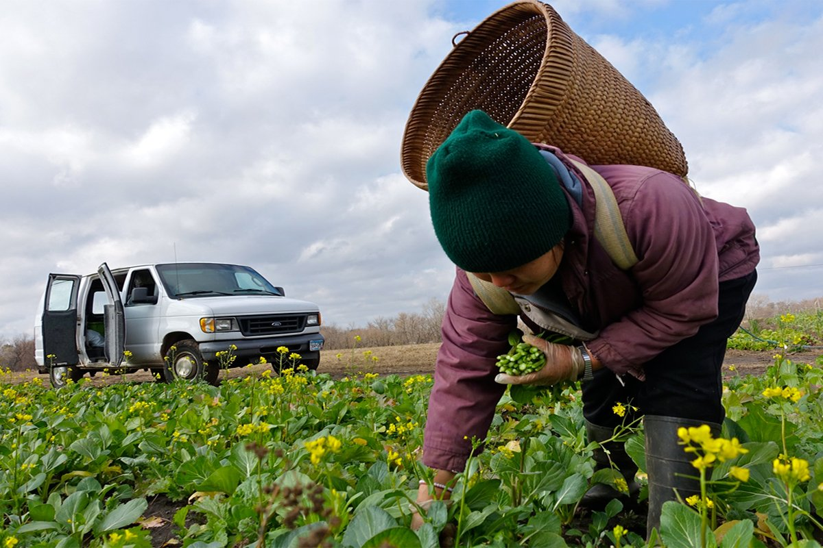 A Hmong farmer picking crops in the farm field. (Photo credit Mike Hazard / HAFA)