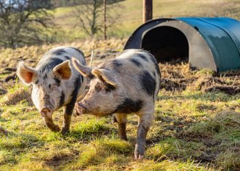 Two happy pigs running around outside without a gestation crate in sight.