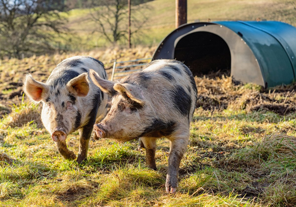 Could Crate-Free Pork Become the New Industry Standard? | Civil Eats