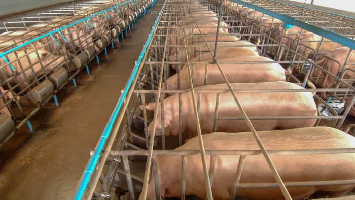 Pigs in gestation crates in a hog barn.