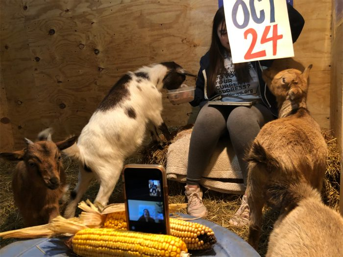 "Organizers Micah McCutchan (in-person) and Katelyn Sethi (on phone) host their virtual voter information event ""Goat Out the Vote,"" where voter information is shared live from a goat barn with participants on Zoom."