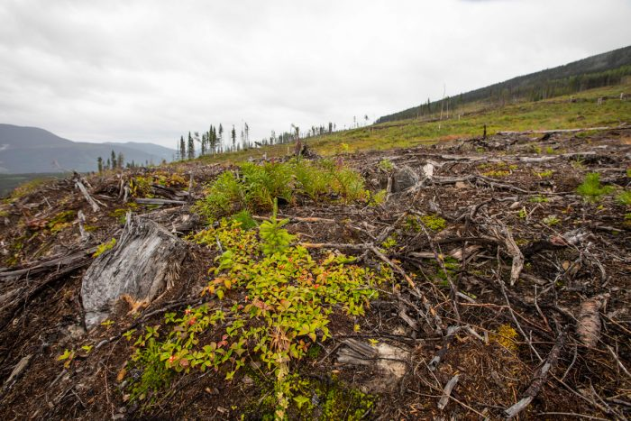 Industrial logging, as well as oil and gas development, have created huge impacts on the landscape in the region. Mature forests are critical refuge habitat for caribou. Clearcuts such as this will take nearly a century to recover before they become secure habitat again for caribou.