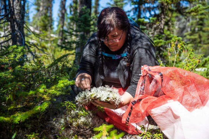 "Pauline Davis, a member of the Saulteau First Nation, collecting lichen to feed to caribou in the Maternity Pen. Self-described as an ""elder in training,"" Davis shared, ""I consider it an honor to be able to give back to the caribou. . . . We want caribou here for our great-grandchildren."""
