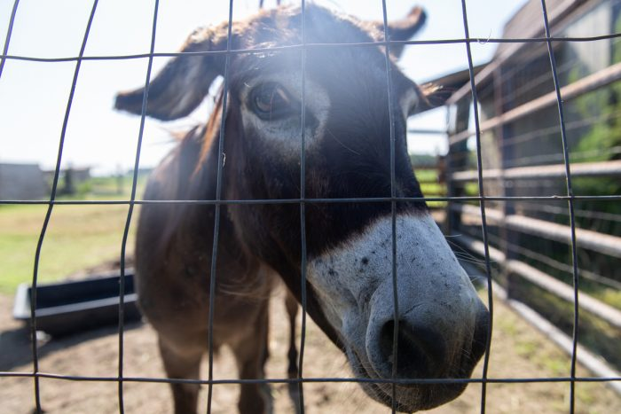 A mediterranean donkey stares at the camera at the Hill Family Farm in Edgecombe County, NC on August 30, 2020. (Photo © Hanna Wondmagegn)